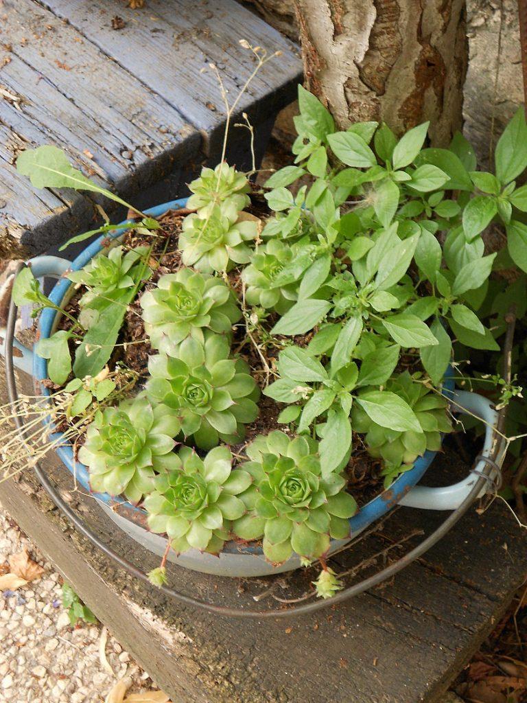 Plantes grasses dans gamelle bleue