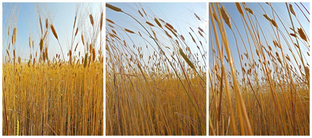 Montage blé