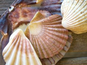 Coquille Saint Jacques - Cattier
