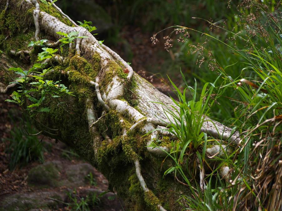 Force de l'arbre - Forêt de Huelgoat - Bretagne