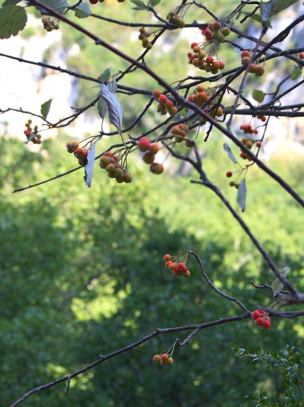 Fleurs et fruits des forêts de Lussan